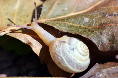 mollusca: Snail