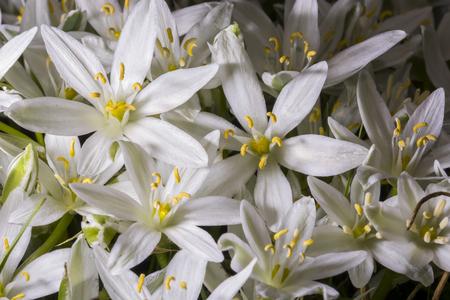 bethlehem: Star of Bethlehem flower