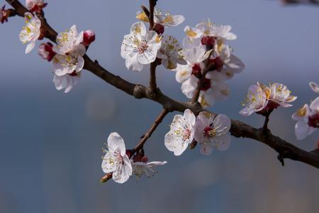 rama de un árbol de flor de primavera
