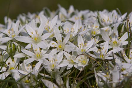 anthers: Star of Bethlehem flower
