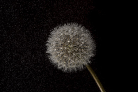 posterity: Dandelion isolated on black  background