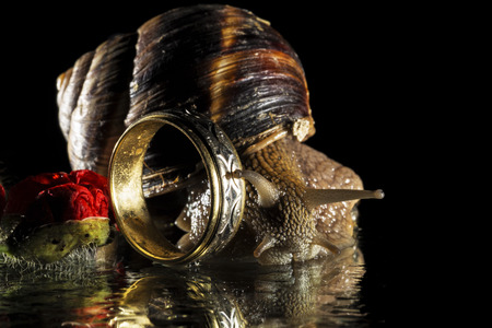 gastropod: Snail and ring isolated on black  background