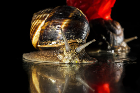 mollusca: Snails isolated on black  background