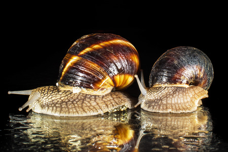 Snails isolated on black background