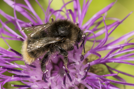 Bee collecting pollen on a purple flower Stock Photo