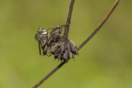 Two flies on a twig