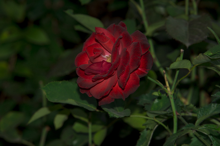 Red rose isolated on garden background