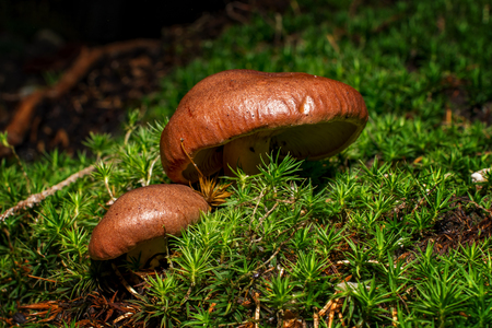 manjar: Brown mushrooms in different shapes and sizes