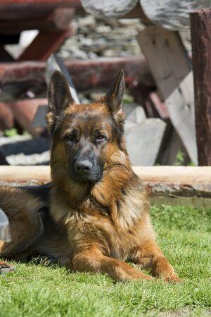 Portrait of a beautiful German shepherd dog
