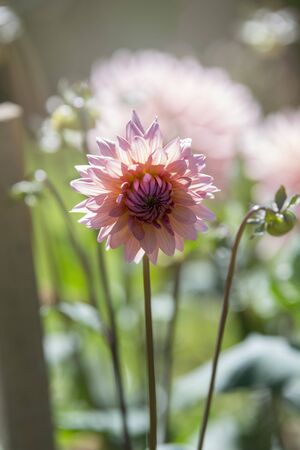 Beautiful pink dahlia isolated on garden background Banque d'images