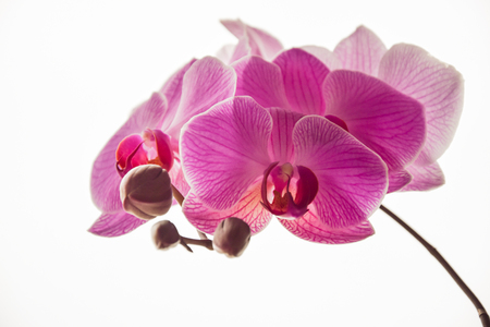 fragility: purple orchid on white background Stock Photo
