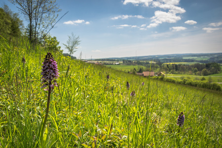locality: Meadow landscape with a purple flower detail, Orchis purpurea