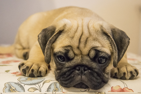 Pug puppy close-up