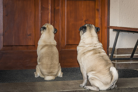 pugs on a porch in front of the door