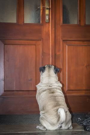 pug on a porch in front of the door