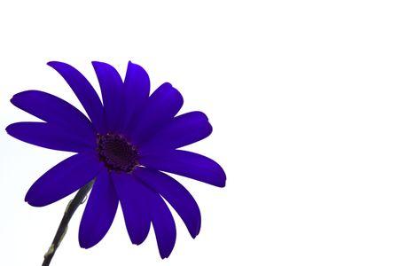 deep blue senetti flower isolated on white Stock Photo