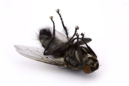 irritate: dead fly on a white background