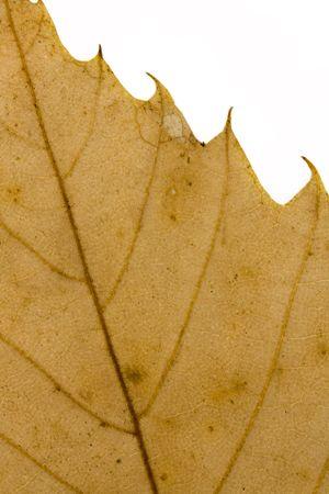 dry autumn leaf on a white background Stock Photo