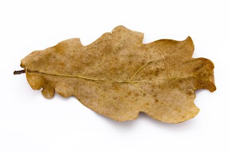 dry brown oak leaf on a white background Stock Photo