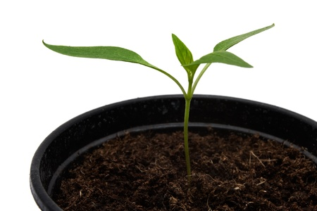 Seedling in a pot on a white background