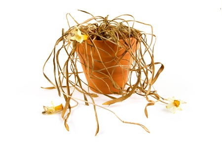 clay pot: Dead plant in a pot onwhite Stock Photo