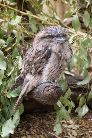 tawny owl: Tawny Frogmouth Owl perched on a branch. Stock Photo