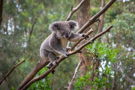 A wild Koala climbing a tree .
