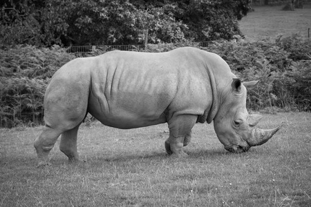 Side view of a white rhinoceros eating grass.