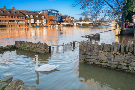 WINDSOR BERKSHIRE, UK- 11 January, 2014: View of Eton Bridge with a swan swimming on the flooded foot path on the river bank in the 2014  January floods.