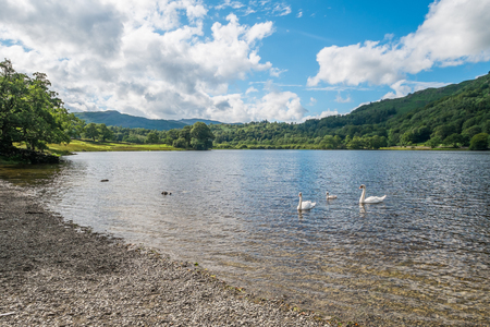 Swans and a cygnet on Rydal Water in the Lake District.