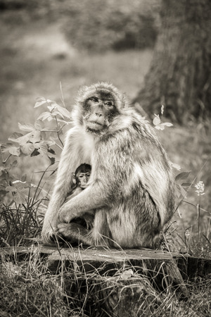 Mother and baby Barbary Macaque monkey sitting on a tree stump. Stock Photo