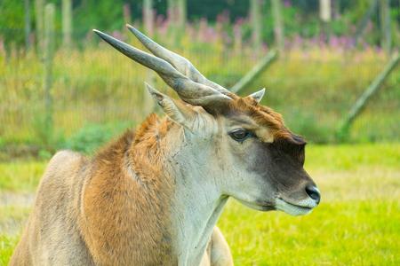 Common Eland close up.