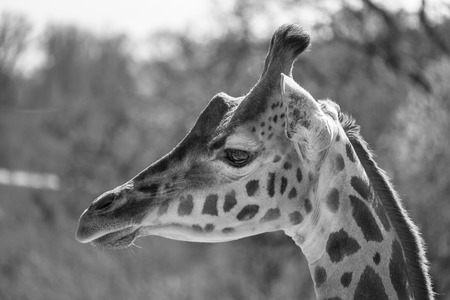 Black and white portrait of a Rothschild Giraffe.
