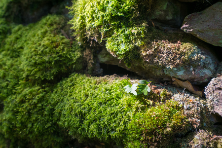 Moss and leaves lit by sunlight on a dry stone wall.