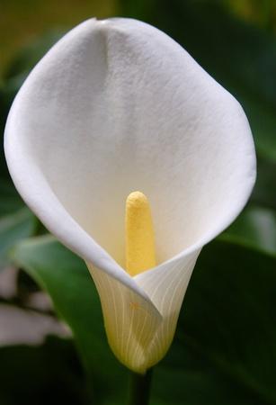 calla lily: Zantedeschia aethiopica - Calla Stock Photo