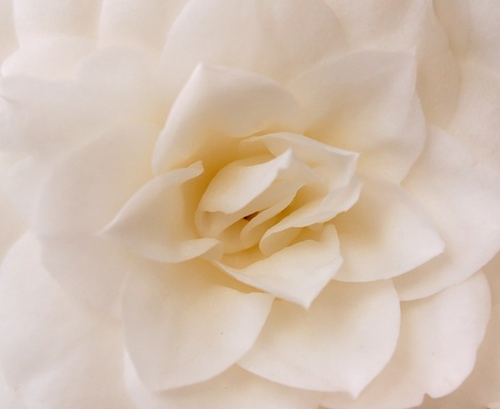 camellia flower background photo