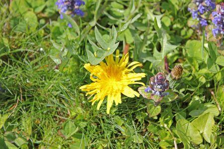 dandelion on a soft an green meadow in summer
