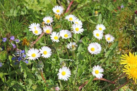 Meadow with daisies in summer