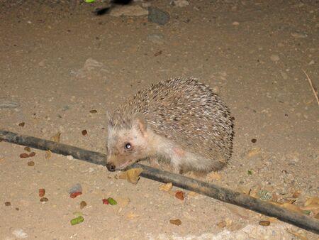 Hedgehog walking around at night 写真素材