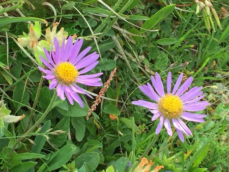Close up of purple daisies in summer