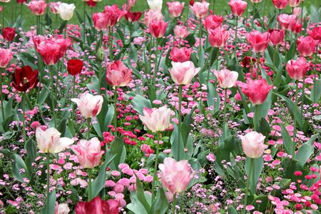 field of red and pink tulips in spring