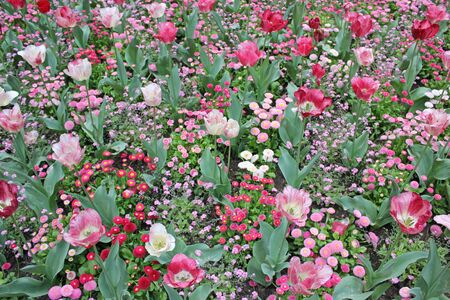 field of red and pink tulips in spring on a sunny day Banco de Imagens
