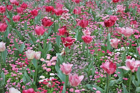 field of red and pink tulips