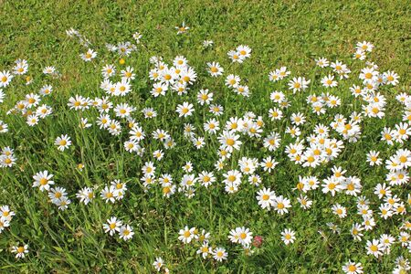 daisies on a meadow in summer