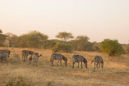 zebras eating grass in the african savannah at dusk