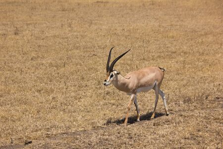 gazelle walking in the african steppe on a sunny day