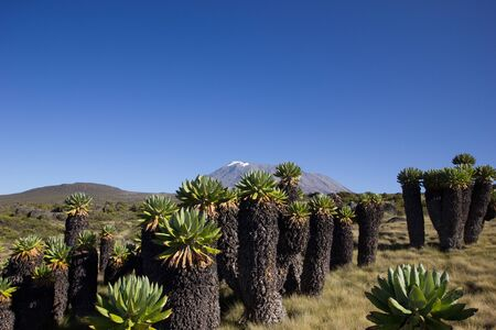 Breathtaking view at the Mount Kilimanjaro behind giant senecias