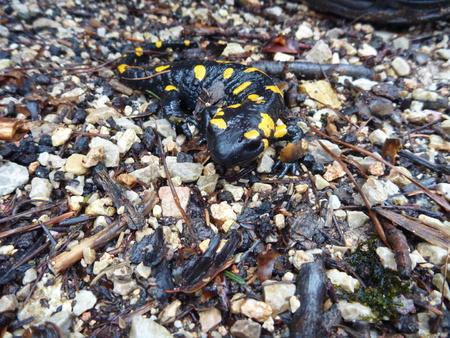 salamandra: un detalle de una salamandra manchada amarilla Foto de archivo