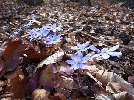 hojas antiguas: una flor violeta de primavera en las hojas viejas Foto de archivo