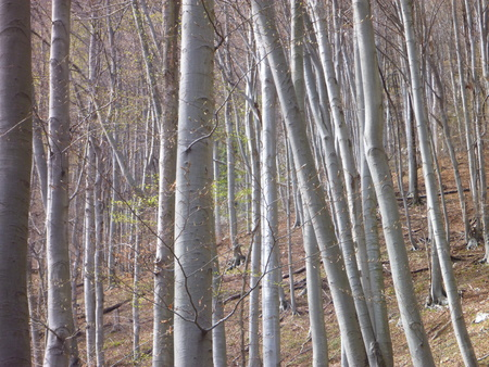 leafless: a leafless beech wood in the spring